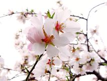 Ветвь цветя миндалины Стоковые Фото