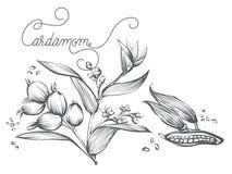 Ветвь циннамона, лист, цветок, расшива Стоковое Изображение