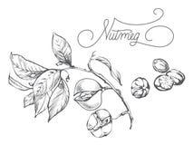 Ветвь циннамона, лист, цветок, расшива Стоковое Изображение RF