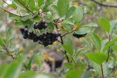 Ветвь черного chokeberry Стоковая Фотография