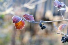 Ветвь черной золы горы с ягодами и листьями, покрытая с изморозью после заморозка ночи Стоковые Изображения