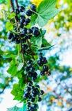 Ветвь черной смородины с ягодами в саде стоковые изображения rf