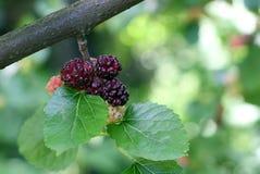 Ветвь шелковицы Стоковая Фотография