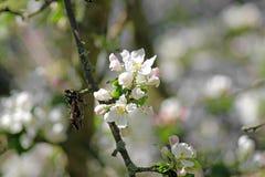 Ветвь Яблока в саде Стоковое фото RF