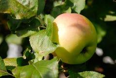 ветвь яблока Стоковое фото RF