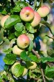 Ветвь яблока стоковые изображения