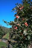 ветвь яблока Стоковые Фотографии RF