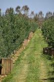 ветвь яблок яблока fruits сад листьев Строки деревьев и плодоовощ земли под t Стоковые Фотографии RF