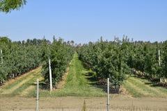 ветвь яблок яблока fruits сад листьев Строки деревьев и плодоовощ земли под t Стоковое Фото