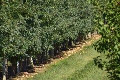 ветвь яблок яблока fruits сад листьев Строки деревьев и плодоовощ земли под t Стоковые Изображения