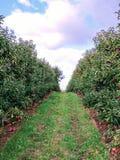 ветвь яблок яблока fruits сад листьев стоковая фотография