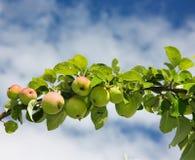 ветвь яблок Стоковые Изображения