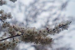 Ветвь яблони весны цветения Стоковые Фотографии RF