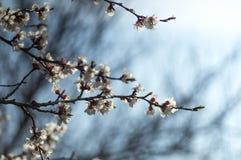 Ветвь яблони весны цветения Стоковое Изображение