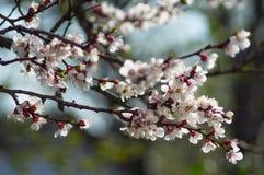 Ветвь яблони весны цветения Стоковые Изображения