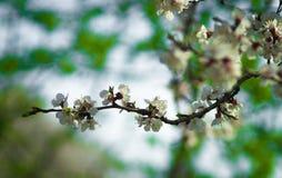 Ветвь яблони весны цветения Стоковые Фото