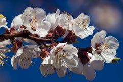 Ветвь яблони весны цветения Стоковые Изображения RF