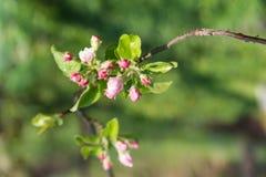 Ветвь яблони зацветая Стоковая Фотография