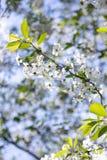Ветвь яблони с белыми цветками на запачканной предпосылке стоковые фото
