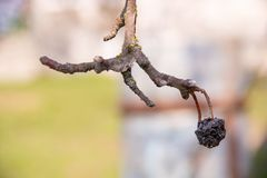 Ветвь яблони с весной яблока высушенного-вверх last year предыдущей в саде стоковые фото