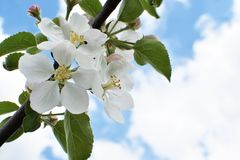 Ветвь яблони с красивыми белыми цветками в цветени Стоковое Изображение RF