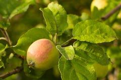 ветвь яблони с листьями стоковое фото rf