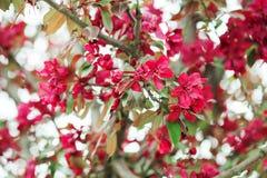 Ветвь Яблока зацветая Стоковые Изображения