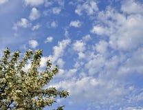 Ветвь яблока на голубом небе Стоковое Фото