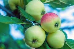 ветвь яблок зрелая Стоковые Изображения