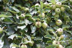 ветвь яблок яблока fruits сад листьев Стоковые Изображения