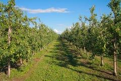 ветвь яблок яблока fruits сад листьев Стоковое Фото