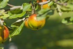 Ветвь яблони с свежими сочными плодоовощами Стоковая Фотография