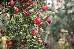 ветвь яблони с яблоками стоковое изображение rf