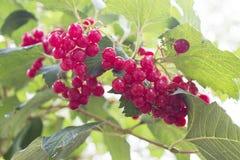 Ветвь ягод калины Стоковая Фотография