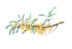 Ветвь ягод крушины моря вектора Стоковая Фотография