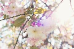 Ветвь японской вишни в цветени Стоковые Фотографии RF