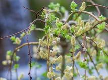 Ветвь blossoming вербы стоковые изображения rf