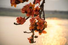 Ветвь blossoming дерева ceiba Bombax или красного цветка Silk хлопка в заходе солнца с рекой на предпосылке Стоковые Изображения