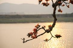 Ветвь blossoming дерева ceiba Bombax или красного цветка Silk хлопка в заходе солнца с рекой на предпосылке Стоковое Изображение