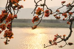 Ветвь blossoming дерева ceiba Bombax или красного цветка Silk хлопка в заходе солнца с рекой на предпосылке Стоковое Фото