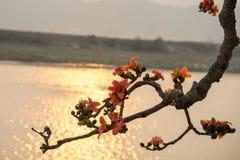 Ветвь blossoming дерева ceiba Bombax или красного цветка Silk хлопка в заходе солнца с рекой на предпосылке Стоковая Фотография RF