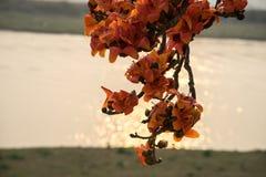 Ветвь blossoming дерева ceiba Bombax или красного цветка Silk хлопка в заходе солнца с рекой на предпосылке Стоковые Фотографии RF