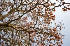 Ветвь blossoming дерева ceiba Bombax или красного цветка Silk хлопка Стоковая Фотография RF