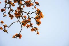 Ветвь blossoming дерева ceiba Bombax или красного цветка Silk хлопка Стоковые Изображения