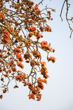 Ветвь blossoming дерева ceiba Bombax или красного цветка Silk хлопка Стоковые Фото