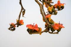Ветвь blossoming дерева ceiba Bombax или красного цветка Silk хлопка Стоковые Фотографии RF