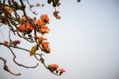 Ветвь blossoming дерева ceiba Bombax или красного цветка Silk хлопка Стоковая Фотография
