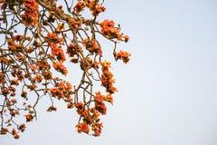 Ветвь blossoming дерева ceiba Bombax или красного цветка Silk хлопка Стоковые Изображения RF