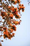 Ветвь blossoming дерева ceiba Bombax или красного цветка Silk хлопка Стоковое Фото