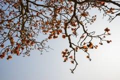 Ветвь blossoming дерева ceiba Bombax или красного цветка Silk хлопка Стоковое фото RF